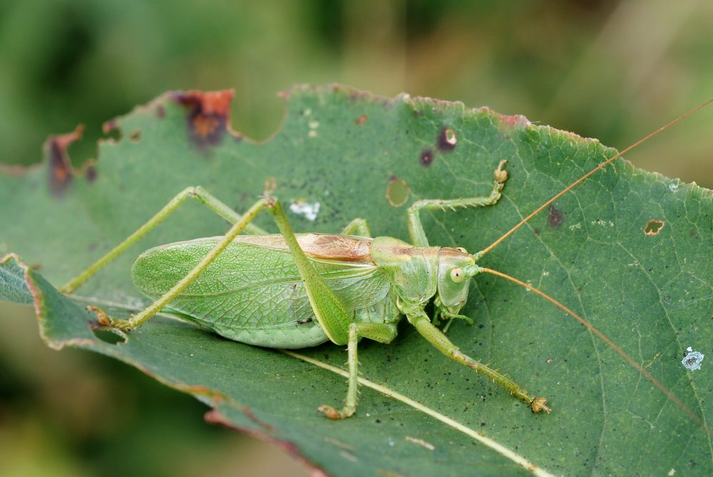 Upland Green Bush-cricket mascul