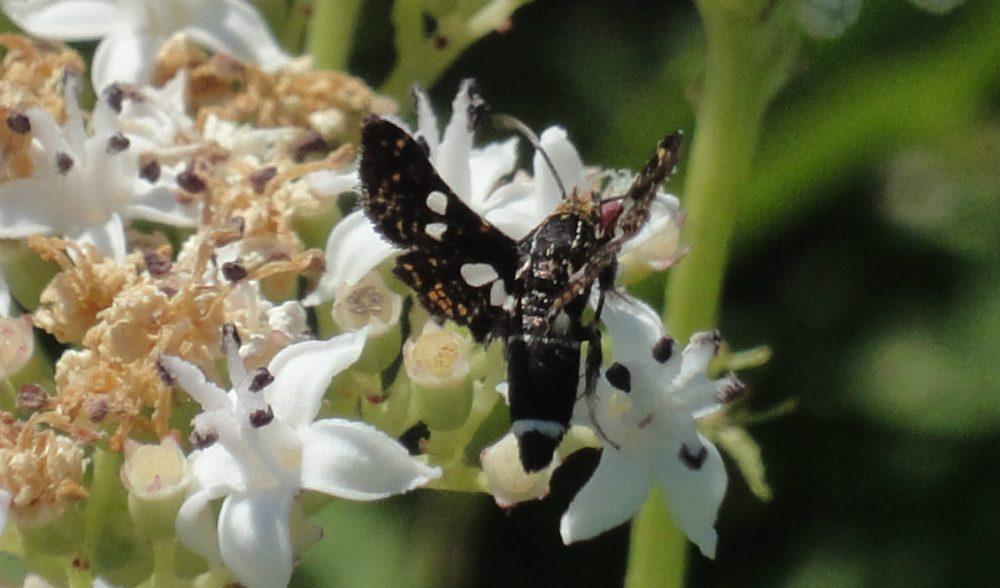 Pigmy, fluture negru cu pete albe