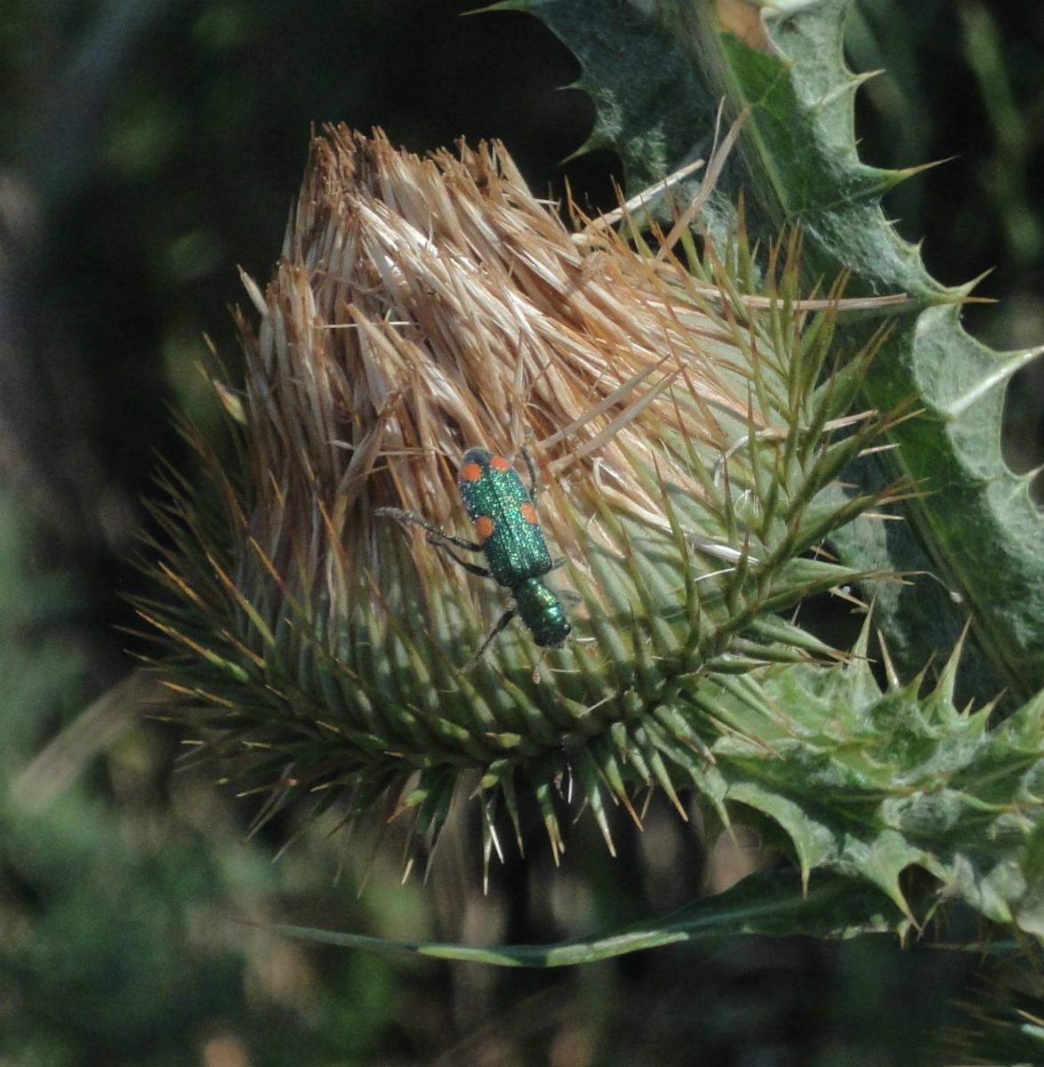 Gândac verde cu 4 pete roşii