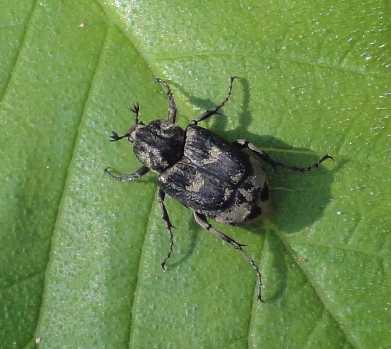 Gândac negru cu pete gri