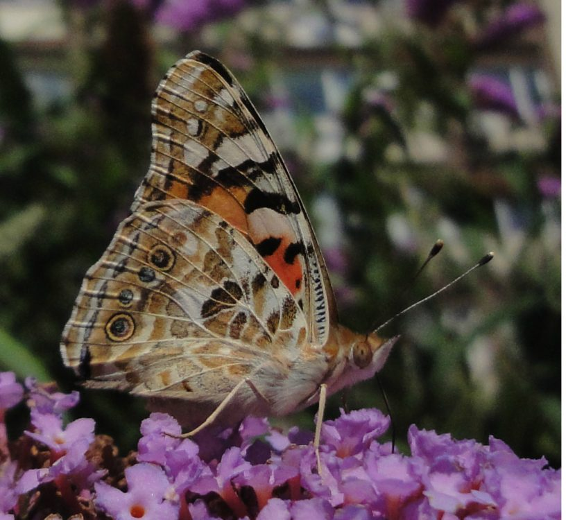 Painted Lady lateral