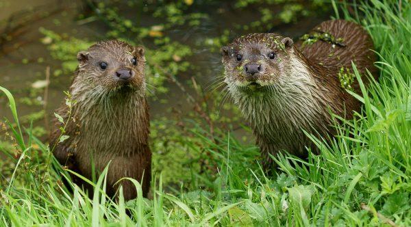 Lutra lutra, Eurasian Otter, Common Otter, European Otter, European River Otter, Old World Otter