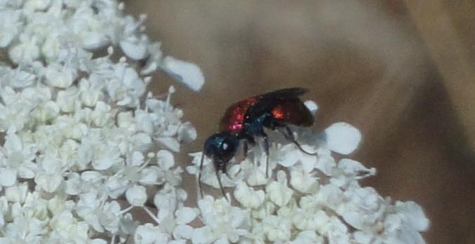 viespe albastră cu roşu