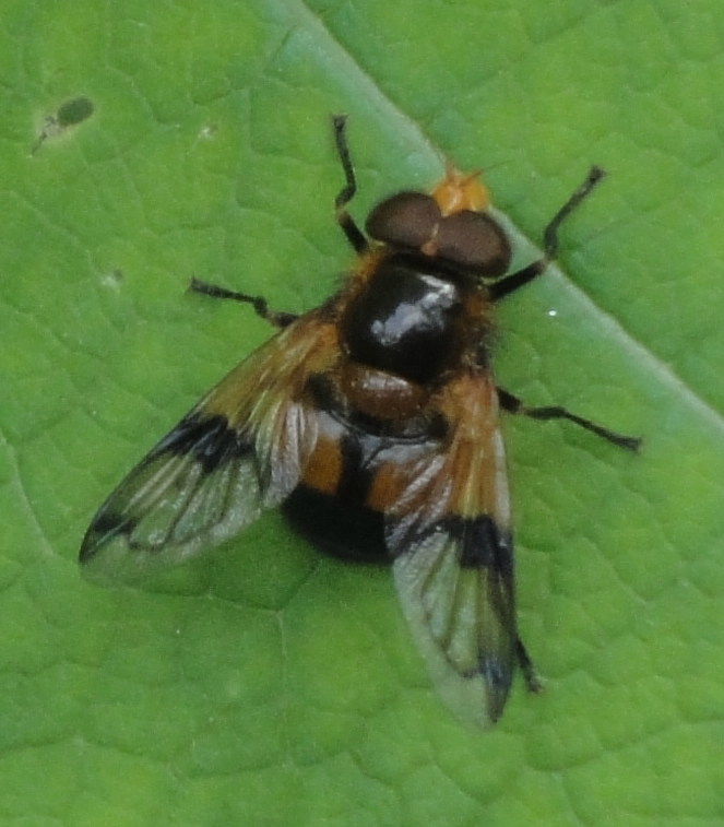 Cossus Hoverfly, Hoverfly maro cu negru