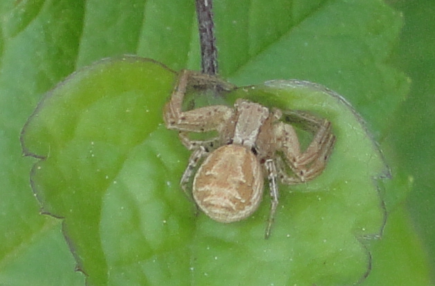 Common Crab Spider
