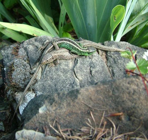 Şopârla de câmp (Lacerta agilis) cuplu