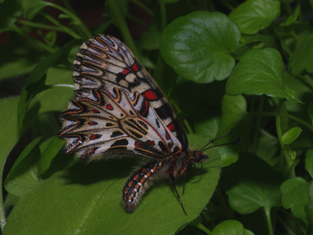 Southern festoon lateral