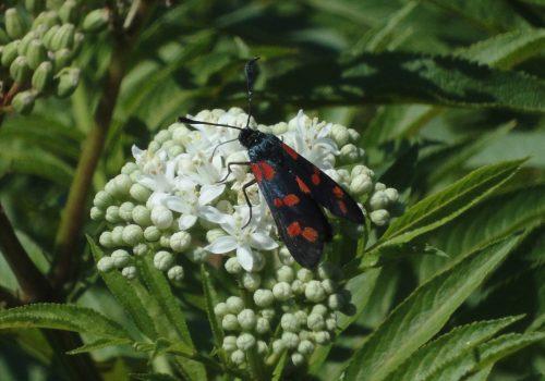 Six-Spot Burnet, fluture cu pete roşii